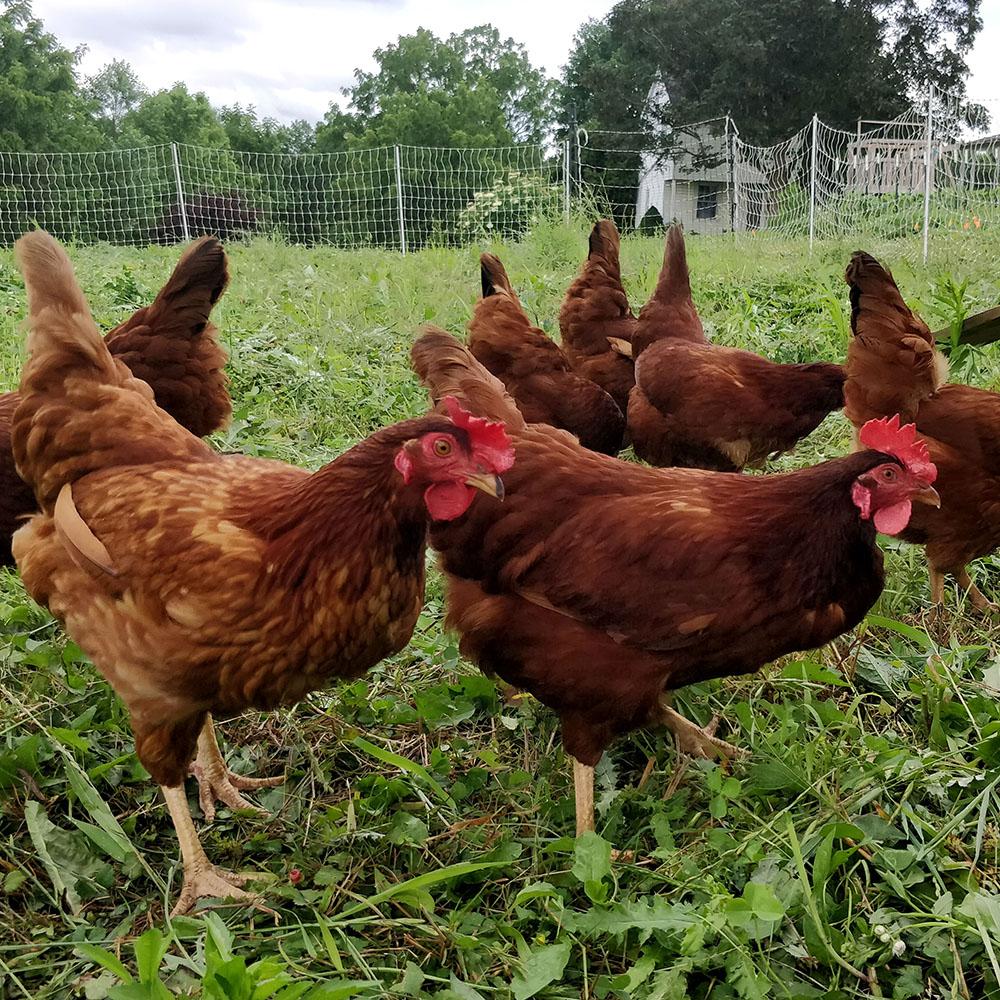100% Grass-Fed Chickens?